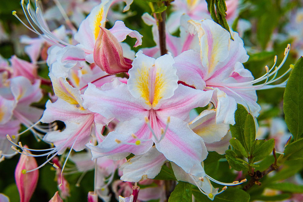 The incredibly beautiful and vibrant western azalea is a member of the rhododendron family and native to America's west coast from Southern Oregon area south to Mexico's Baja California. It is found in the forests of the coastal mountain ranges, and the Cascade and Sierra Nevada mountain ranges. This one was spotted blooming near a peat bog just over the California border in rural Josephine County, Oregon. The incredibly beautiful and vibrant western azalea is a member of the rhododendron family and native to America's west coast from Southern Oregon area south to Mexico's Baja California. It is found in the forests of the coastal mountain ranges, and the Cascade and Sierra Nevada mountain ranges. This one was spotted blooming near a peat bog just over the California border in rural Josephine County, Oregon.
