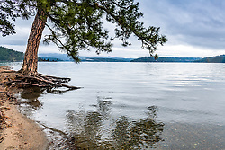 A ponderosa pine for now enjoy some beach front property on Lake Coeur d'Alene