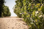 Nutra Fig fig orchards outside of Fresno, California during harvest season.