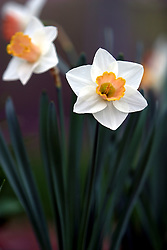 April 9, 2006:  Images of tulips and daffodils.