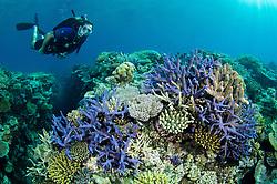 Diver Chris Liles swims above healthy hard corals. Sandstone Reef, Bligh Water, Viti Levu, Fiji, Pacific Ocean