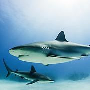 Two Caribbean reef sharks, Carcharhinus perezii, off Grand Bahama Island, Bahamas