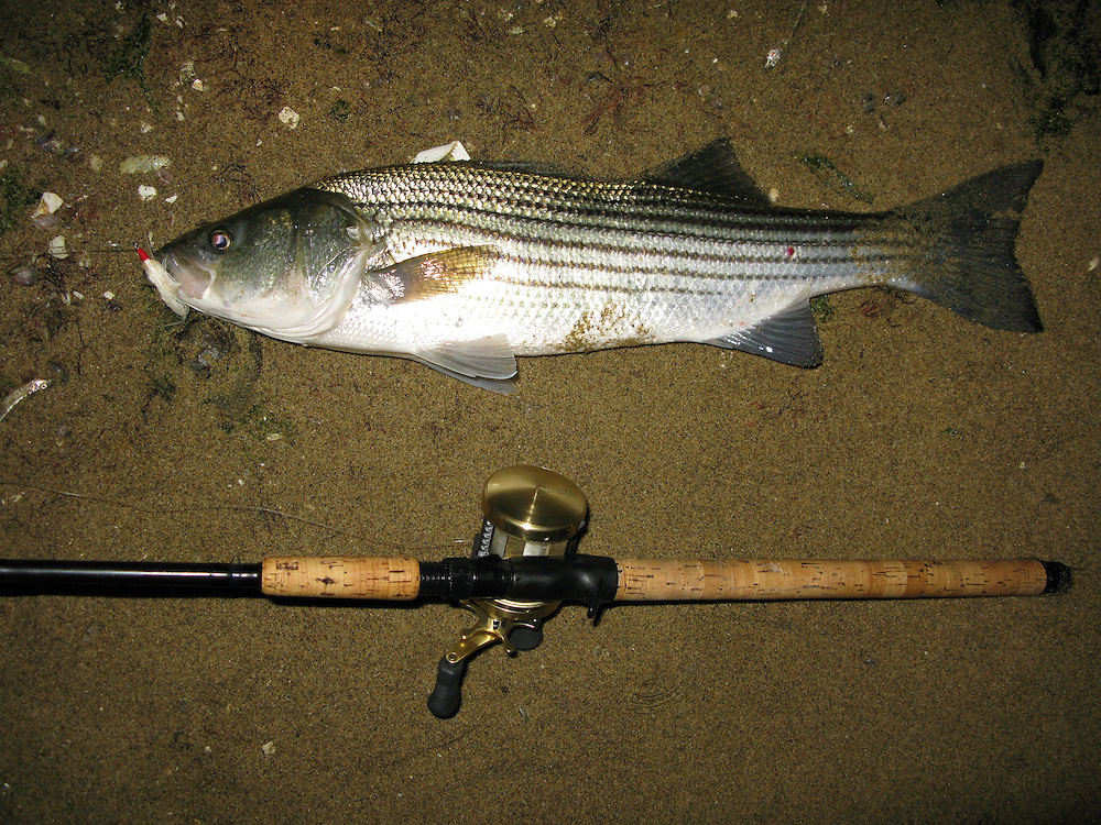 A striped bass taken from the surf of Sandy Hook Gateway National Park New Jersey.   This fish fell for a white teaser ahead of a danny wood swimming plug.