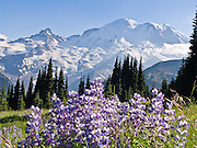 Afternoon sun hits Mount Rainier (14,411 feet elevation) and lupine flowers on Sunrise Ridge, in Mount Rainier National Park, Washington, USA. Lupinus is a genus in the pea family (also called the legume, bean, or pulse family, Latin name Fabaceae or Leguminosae). Published since 2013 on StayRainier.com and AltaCrystalResort.com web sites; and on 2015 Alta Crystal Resort Summer Brochure. Published in National Parks Traveler digital magazine hard copy, digital, & web, NationalParksTraveler.com. Global warming and climate change: Mount Rainier's glaciers shrank 22% by area and 25% by volume between 1913 and 1994 in conjunction with rising temperatures (Nylen 2004). As of 2009, monitored glaciers are continuing to retreat (NPS). Over the last century, most glaciers have been shrinking across western North America (Moore et al. 2009) and the globe (Lemke et al. 2007) in association with increasing temperatures.