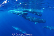 sperm whales, Physeter macrocephalus, Azores Islands, Portugal ( North Atlantic Ocean )