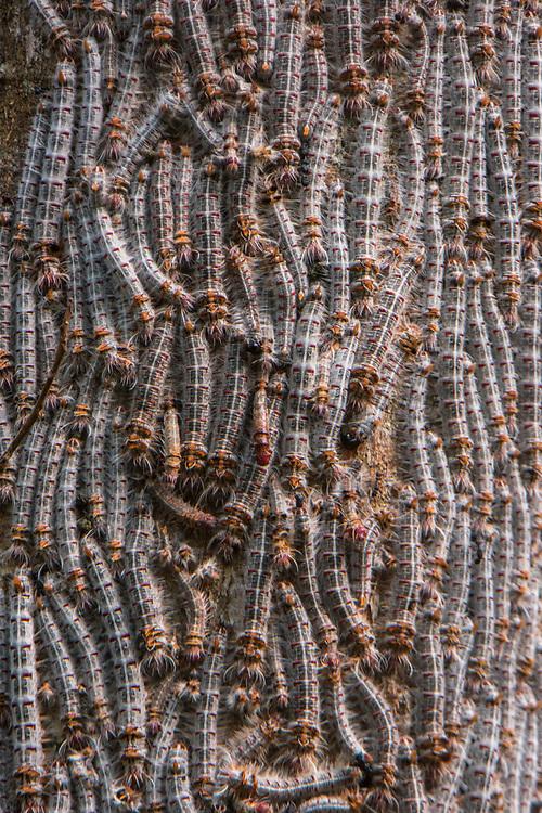 Tent Caterpillar (Borocera cajani) <br /> Ampijoroa<br /> Ankarafantsika Nature Reserve<br /> West Madagascar<br /> MADAGASCAR<br /> ENDEMIC