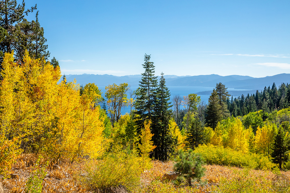 """""""Aspens Above Lake Tahoe 8"""" - Photograph of yellow aspen trees in the Fall at a grove above Lake Tahoe."""
