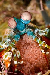 Peacock Mantis Shrimp, Odontodactylus scyllarus, with eggs. Pulau Kawula, Alor region, Indonesia, Pacific Ocean