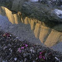 BAFFIN ISLAND, Canada. Great Sail Peak reflected in snow-melt pool, beside saxifrage flowers. Nunavut Territory.