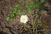 wild white rose flower on a bush