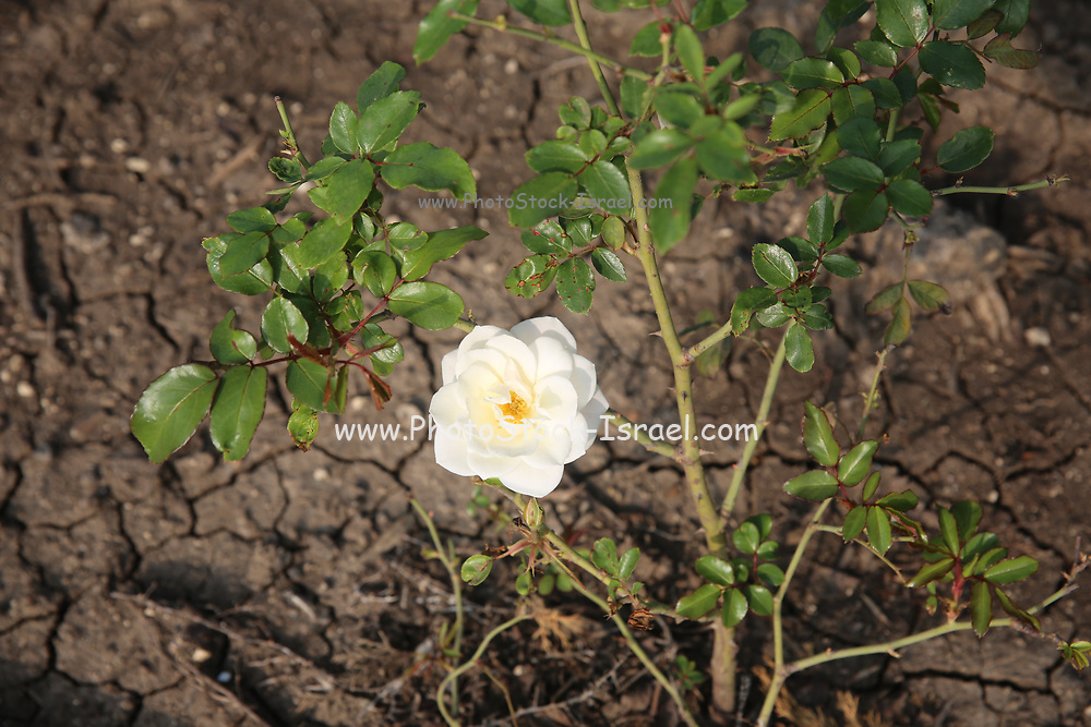 wild white rose flower on a bush