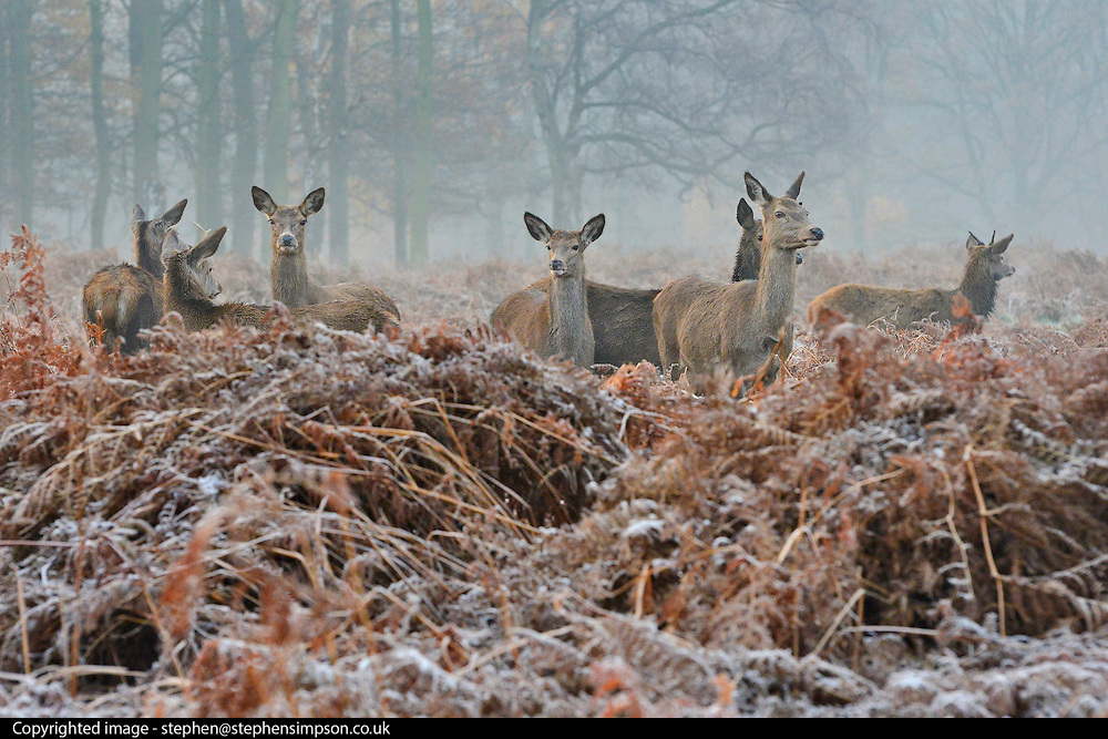 © Licensed to London News Pictures. 10/12/2013. Richmond, UK. Deer graze in the frosty bracken.  Sunrise and deer in Richmond Park, Surrey, this morning 10 December. Photo credit : Stephen Simpson/LNP
