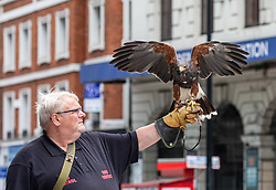 © Licensed to London News Pictures. 16/07/2020. London, UK. Falconer Philip Huzzey 55 with his 14 year old South American Harris Hawk, Hero, helps keep pigeons away from office buildings in Westminster where there has been an increase in pigeons since the relaxing of the coronavirus restrictions due to returning office workers feeding pigeons at lunchtime breaks. Prime Minister Boris Johnson is expected to called for Britons to return to offices to help local service industries and the economic recovery. Photo credit: Alex Lentati/LNP