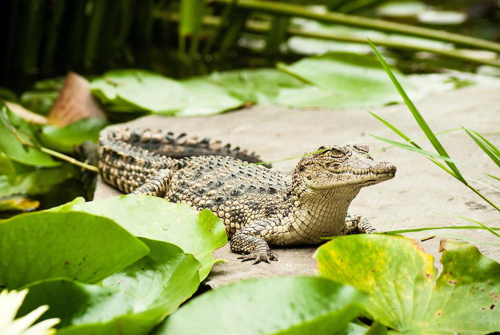 A young crocodile sunbathing on some rocks