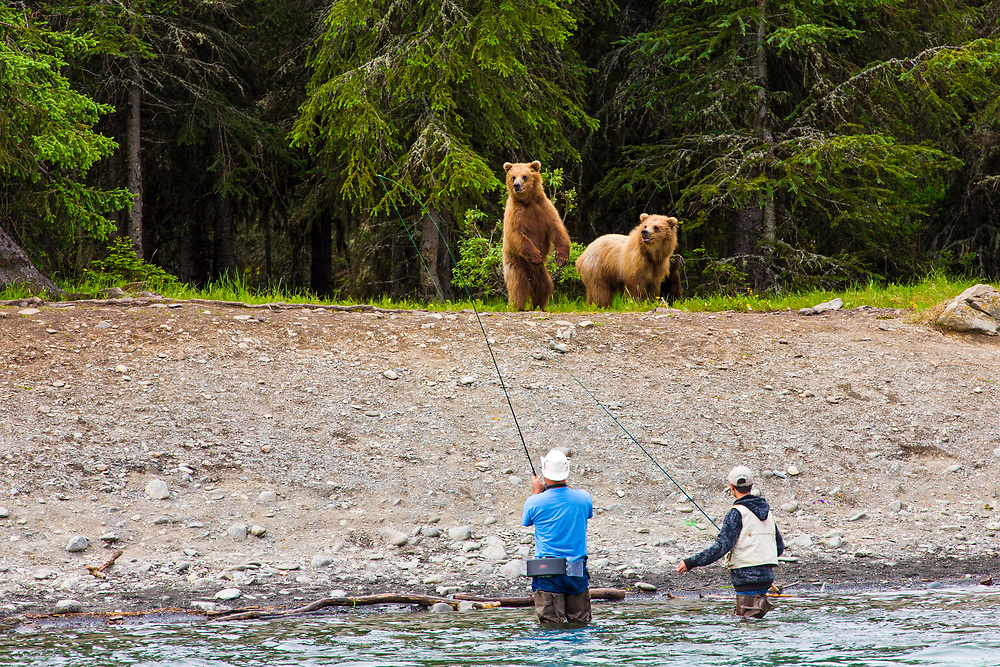 Alaska.  Two fishermen react casually (one taking a picture) while two juvenile Brown Bears (Ursus arctos) approach the south bank of the Upper Kenai River near the Russian River Ferry in June.  The mother bear is just out of the picture in the woods behind.  Bears routinely forage the banks of this highly popular fishery for easy pickings of salmon on stringers or for human food let unattended.  Bear/human interaction is  problematic and often leads to habituation, with negative results for the bear.
