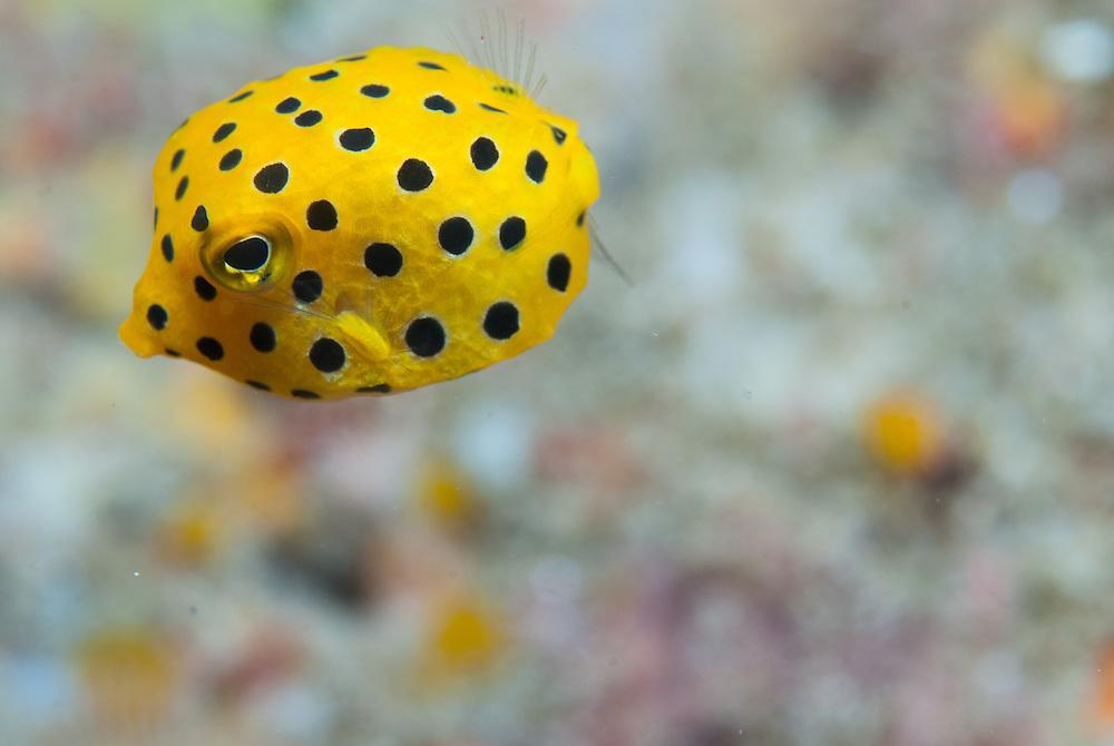 Kermadecs Marine Reserve Yellow boxfish, Ostracion cubicus
