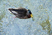 overhead view of a Mallard duck swimming in very clear water