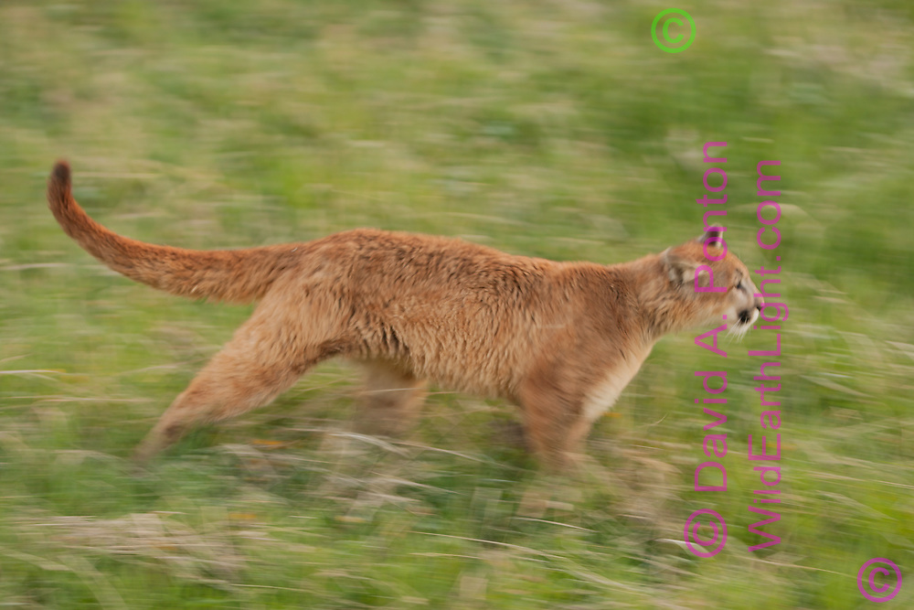 Mountain lion running in meadow, blur-pan style, Montana, © David A. Ponton