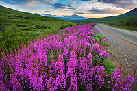 Inflamed in pink, fireweed, which reaches peak bloom in July, can be seen along much of the park road as shown in July of 2015. An old Alaskan saying claims that by the time the fireweed blossoms at the very top, the first snowfall is only six weeks away.<br /> By Kent Miller<br /> -2015