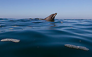 A Dolphin in the Ocean at Laguna Beach