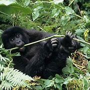 Mountain Gorilla, (Gorilla gorilla beringei) Juvenile foraging in Volcanoes National Park. Rwanda. Africa.