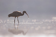 Glossy Ibis (Plegadis falcinellus) foraging for food in shallow water. These birds feed mainly on aquatic invertebrates/insects such as freshwater snails, mussels, crabs and crayfish. Photographed at Ein Afek Nature reserve, Israel in September