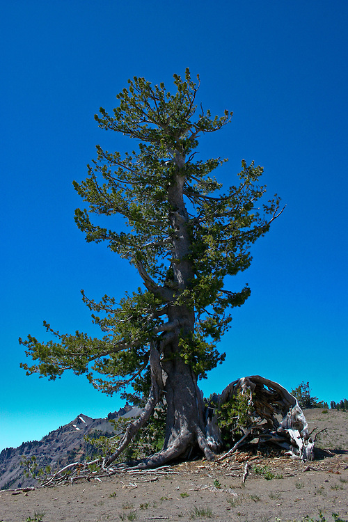 a white bark pine grows straight and tall along  the rim of Oregon's Crater Lake.