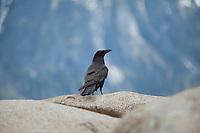Raven in Yosemite National Park California.