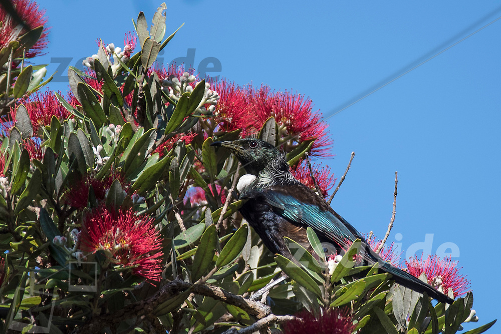 A Tui bird sipping from the nectare of an overly flowering Pohutukawa Tree at Tawharanui Regional Park of Auckland.