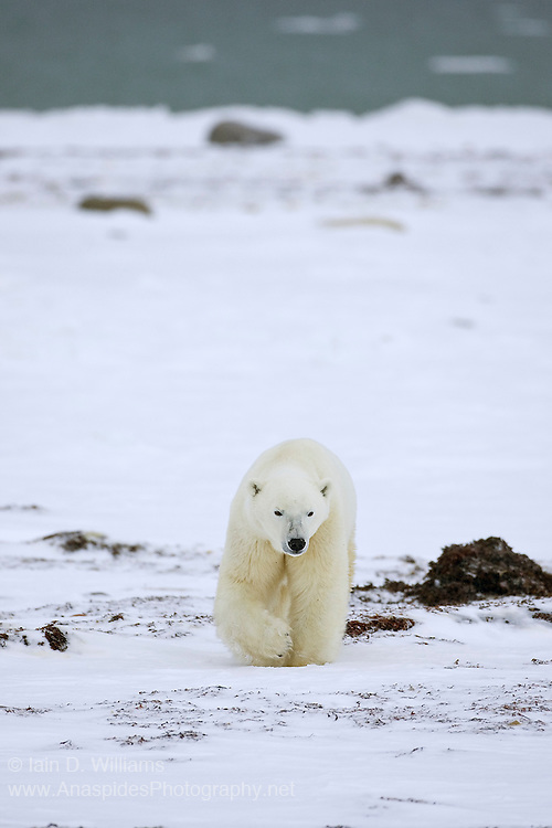 The almost frozen water of Hudson Bay in Canada can be seen in the background as this polar bear walks past some exposed seaweed