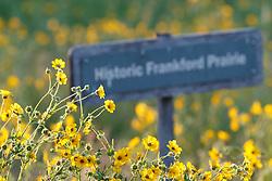 """Engelmann's daisy (Engelmannia peristenia) and """"Historic Frankford Prairie"""" sign on native Blackland Prairie at the Frankfurt Prairie Preserve, Dallas Texas, USA. (Tentative ID)."""
