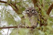 Spotted owlet (Athene brama) from jawai, Rajasthan, India.