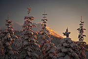 Mount Rainier in alpenglow morning light is seen in winter through snow covered Noble Fir conifer trees in the Washington State Cascade Mountain Range.