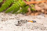 Sand digger wasp (Ammophila sabulosa?) excavating sand from nest hole. Thursley Common, Surrey, UK.