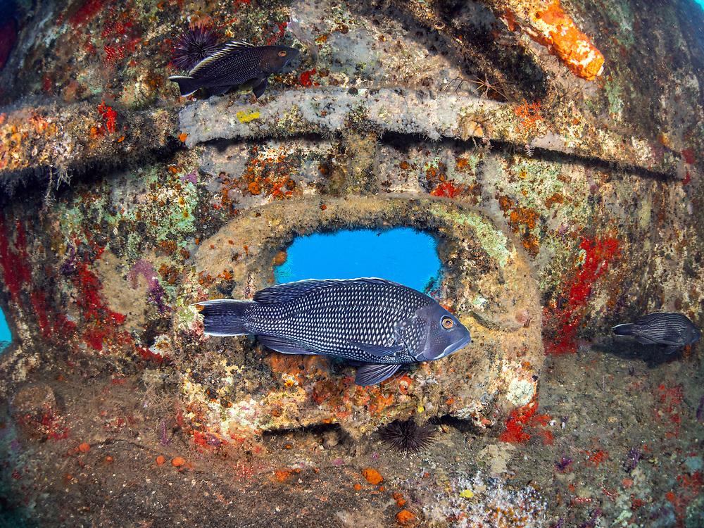 Black sea bass on USCGC Spar Shipwreck in North Carolina, USA