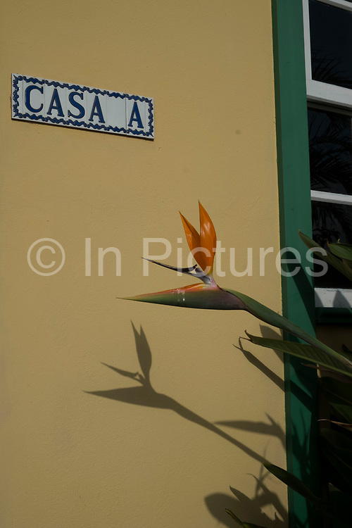 Bird of Paradise Flower casts a shadow growing outside a house in La Palma, Canary Islands, Spain. Strelitzia is a genus of five species of perennial plants, belonging to the plant family Strelitziaceae. A common name of the genus is bird of paradise flower / plant, because of a resemblance of its flowers to birds-of-paradise. It is also commonly known as a crane flower. La Palma, also San Miguel de La Palma, is the most north-westerly Canary Island in Spain. La Palma has an area of 706km2 making it the fifth largest of the seven main Canary Islands.
