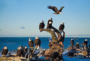 Alaska. Bald Eagles (Haliaeetus leucocephalus) on a Homer beach.