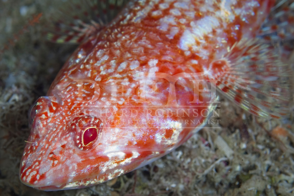Synodus doaki (Red lizardfish)..Thursday 19 April 2012..Photograph Richard Robinson © 2012..Dive Number: 365.Dive Buddy: Ian Skipworth..Site: Serpent Rock, Poor Knights Marine Reserve..Temperature: 19.8 Degrees Celsius..Rebreather: Inspiration Vision. Total Time On Unit: 211:42 hh:mm.Mix: 16:50.Maximum Depth: 65.9 meters..Bottom Time: 95 minutes..Bottom Time to Date: 26,337 minutes..Cumulative Time: 26,432 minutes.
