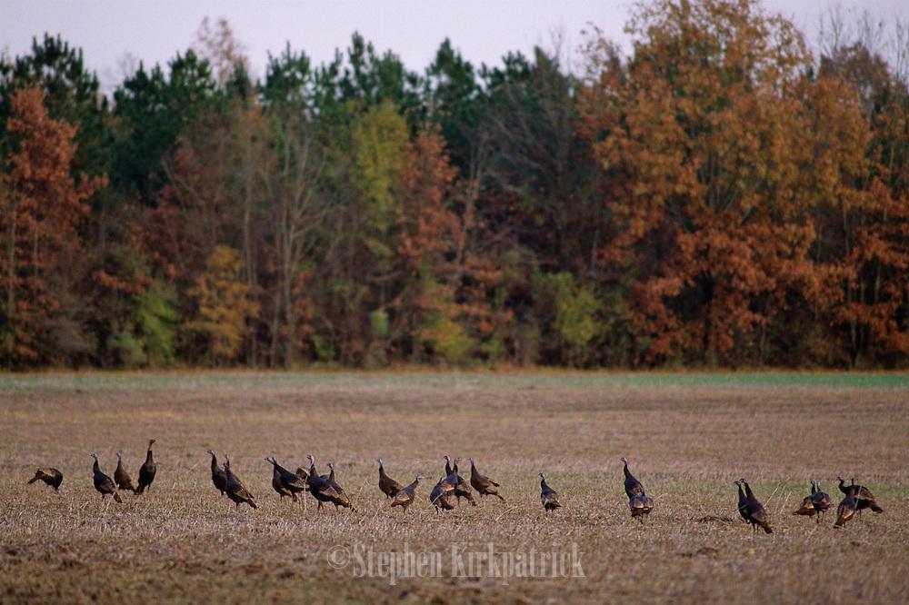 Eastern Wild Turkeys in field in fall - Mississippi.