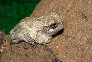 A Grey tree frog (Hyla versicolor) resting on a tree branch at the Long Sutton Butterfly and Wildlife Park Lincolnshire