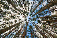 Tall evergreen pine trees, Canaan Valley, West Virginia, USA