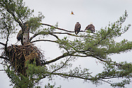 Grahamsville, New York - A Baltimore Oriole flies over bald eagles perched on branches above their nest in a tree by the Rondout Reservoir on June 18, 2013.