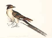 The Jacobin cuckoo (Clamator jacobinus), pied cuckoo or the pied crested cuckoo, is a member of the cuckoo order of birds that is found in Africa and Asia. It is partially migratory and in India, it has been considered a harbinger of the monsoon rains due to the timing of its arrival. 18th century watercolor painting by Elizabeth Gwillim. Lady Elizabeth Symonds Gwillim (21 April 1763 – 21 December 1807) was an artist married to Sir Henry Gwillim, Puisne Judge at the Madras high court until 1808. Lady Gwillim painted a series of about 200 watercolours of Indian birds. Produced about 20 years before John James Audubon, her work has been acclaimed for its accuracy and natural postures as they were drawn from observations of the birds in life. She also painted fishes and flowers. McGill University Library and Archives