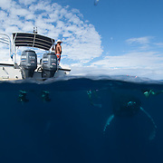 Humpback Whale (Megaptera novaeangliae) underwater with people and a boat visible above water. Caribbean Ocean. February.