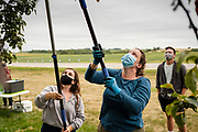 01 SEPTEMBER 2020 - ADEL, IOWA: JOIE PROBST, a staff member with Eat Greater Des Moines, and CARRIE LEWIS, a volunteer, use pickers to reach into the top of a pear tree. Volunteers from Eat Greater DSM gleaned pears at the Dallas County Human Services Campus. The pears will be distributed to Des Moines emergency pantries, community centers, and churches. Gleaning is the act of collecting leftover crops from farmers' fields after they have been commercially harvested or gathering crops from fields where it is not economically profitable to harvest. It is an ancient tradition first described in the Hebrew Bible. A spokesperson for Eat Greater DSM said need has skyrocketed this year. In a normal year, they distribute about 300,000 pounds of food. Since the start of the COVID-19 pandemic in March, they've distributed more than 500,000 pounds of food.        PHOTO BY JACK KURTZ