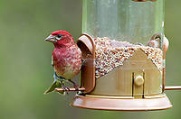 Purple Finch (Carpodacus purpureus) at a seed feeder Cherry Hill, Nova Scotia, Canada