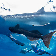 Juvenile whale shark (Rhincodon typus) with common remora (Remora remora) attached and tourists, Honda Bay, Palawan, the Philppines