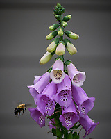 Foxglove. Image taken with a Leica SL2 camera and 55-135 mm lens