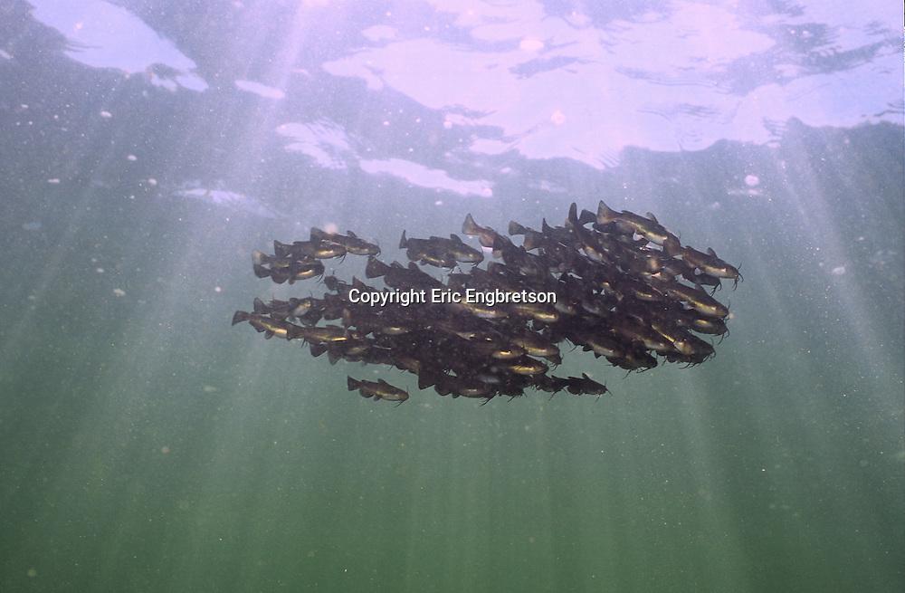 School of juvenile Black Bullhead<br /> <br /> Engbretson Underwater Photography