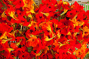 Contagem_MG, Brasil...Colheita de capuchinhas de uma fazenda que produz e vende flores comestiveis para restaurantes e supermercados de Belo Horizonte...The crop of the Garden Nasturtium in a farm, They produce and sell edible flowers for restaurants and supermarkets in Belo Horizonte...Foto: LEO DRUMOND / NITRO